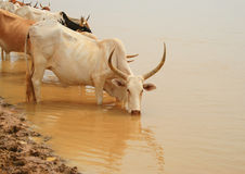 Senegal cows. Cows drinking dirty water in a river of Senegal Royalty Free Stock Photos