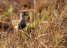 Senegal Lapwing Stock Photos