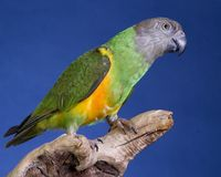 Senegal Parrot Royalty Free Stock Photo