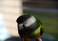 Senegal parrot Royalty Free Stock Image