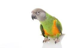 Senegal Parrot. (Poicephalus senegalus) on white background Royalty Free Stock Photography