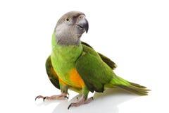 Senegal Parrot. (Poicephalus senegalus) on white background Royalty Free Stock Photo