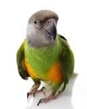 Senegal Parrot. (Poicephalus senegalus) on white background Royalty Free Stock Photos