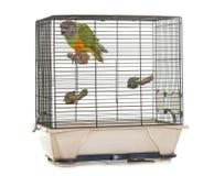 Senegal parrot in birdcage Stock Photos