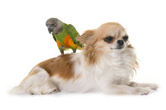 Senegal parrot on chihuahua Stock Images