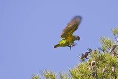 Senegal Parrot Flying Stock Images