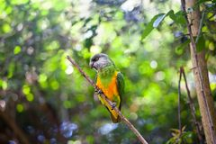 Senegal parrot or Poicephalus senegalus sitting on green tree background close up stock photography