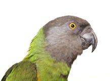 Senegal parrot in studio Stock Photos
