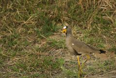 Senegal plover. A senegal plover captured at the St.Lucia Wetland park in southafrica Stock Image