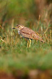 Senegal thick-knee in the green. The Senegal thick-knee & x28;Burhinus senegalensis& x29; is a stone-curlew sitting in the grass with green background on the royalty free stock photo