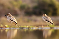 The Senegal thick-knee,pair. The Senegal thick-knee & x28;Burhinus senegalensis& x29; pair on the shore of a water dam stock images