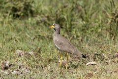 Senegal wattled siewki Vanellus senegallus na łące Obrazy Royalty Free