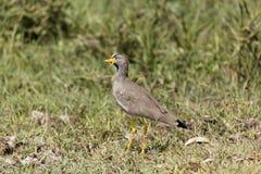 Senegal wattled siewki Vanellus senegallus na łące Obraz Royalty Free