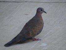Senegalensis горлицы Меньшее turtledove Голубь в Турции стоковые изображения