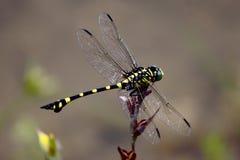 Senegalensis di Ischnura della libellula Fotografie Stock Libere da Diritti
