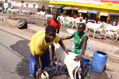 Senegalese Boys Wash a Sheep. Three Senegalese boys wash a sheep at a street-side market in Dakar, preparing it to sell for sacrifice on the upcoming Tabaski Royalty Free Stock Images