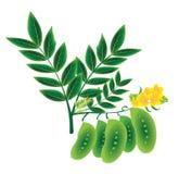 Seneplantpeulen Royalty-vrije Stock Fotografie