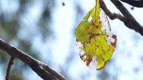 Senescence leaf stock footage