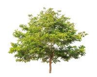 Senesu siamea, tropikalny drzewo odizolowywający na bielu Zdjęcia Royalty Free