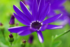 Senetti. Blue flower Stock Photography