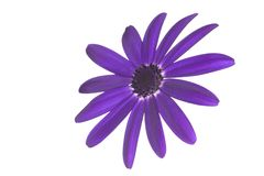 Senetti Deep Blue head Royalty Free Stock Image