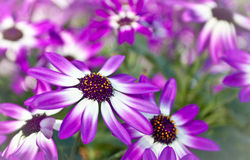 Senetti flowers Stock Image