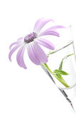 Senetti, genus Daisy Stock Photography