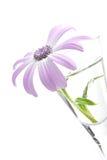 Senetti, genus Daisy Stock Photography