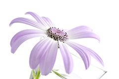 Senetti, Klasse Gänseblümchen Stockbild