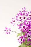 Senetti Magenta Bi-Color. 'Senetti Magenta Bi-Color' isolated on white, high key royalty free stock photos