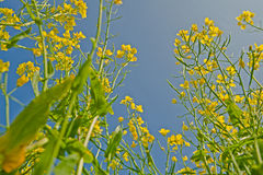 Senf-Blumen Lizenzfreies Stockfoto