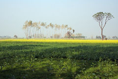 Senf, der in Uttar Pradesh Indien bewirtschaftet Stockfotografie