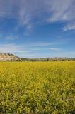 Senf-Feld Stockbild