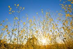 Senfanlage blüht gegen blauen Himmel am Sonnenaufgang lizenzfreies stockbild