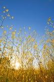 Senfanlage blüht gegen blauen Himmel am Sonnenaufgang Stockbild