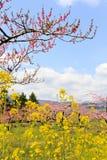 Senfblume und Pflaumeblüte Stockbild
