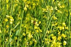 Senferntefeldblatthonigbienen-Naturgelb blüht hellen Tag der Landschaft Lizenzfreies Stockbild