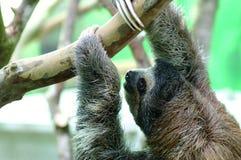 Sengångare i Costa Rica Arkivbilder