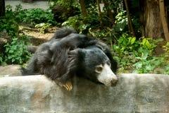 Sengångarebjörn i zooMelursusursinus arkivbild