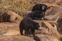 Sengångarebjörn, Melursus Ursinus Daroji björnfristad, Ballari område, Karnataka Arkivfoton