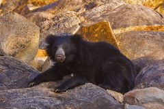 Sengångarebjörn, Melursus Ursinus Daroji björnfristad, Ballari område, Karnataka Arkivbild
