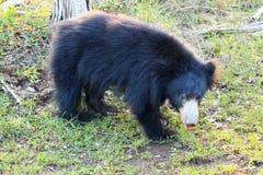Sengångarebjörn, också som är bekant som stickney eller labiated björn Fotografering för Bildbyråer
