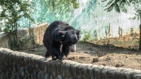 Sengångarebjörn som går på en vägg-Indorezoo, Indien Fotografering för Bildbyråer