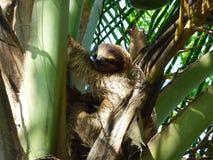 Sengångaredäggdjur, Bastimentos, Panama Fotografering för Bildbyråer