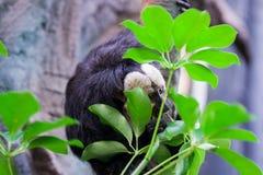 Sengångaredjuret äter sidor av träd Royaltyfria Bilder