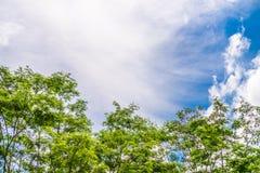 Sengon trees and blue sky Stock Image