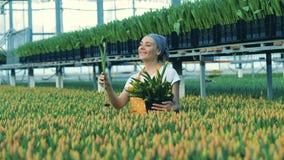 A senhora alegre está recolhendo tulipas na estufa vídeos de arquivo