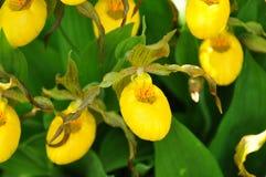 Senhora amarela Slipper Orchids fotografia de stock royalty free