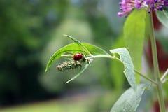 Senhora Beetle Crawling na borboleta Bush Imagens de Stock Royalty Free