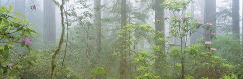 Senhora Bird Johnson Grove de sequoias vermelhas da floresta primária, Califórnia fotos de stock